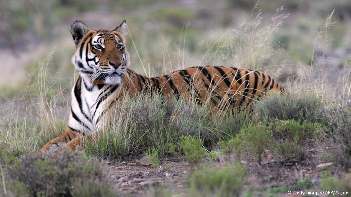 Tigre Amoy