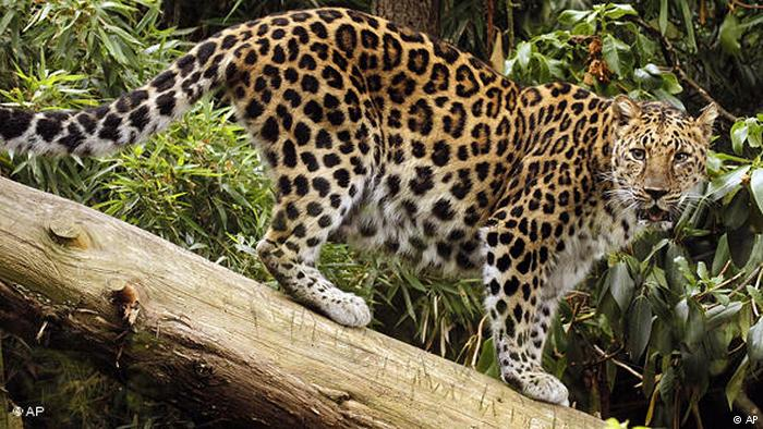 Leopardo Amaur